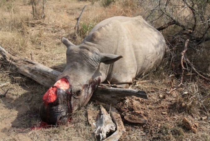 Img : Taiwanese rhino poachers get 29 years in Swazi jail