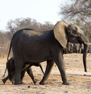 Img : Botswana MPs call for lifting of ban on elephant hunting